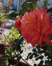 Studio city rose1